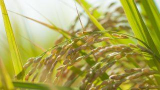 米農家だけど質問ある?